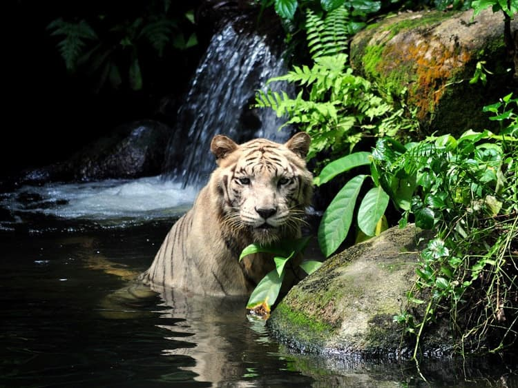 virtual-field-trip-singapore-zoo